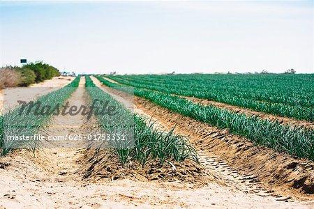 Onion crop in a field, Peru
