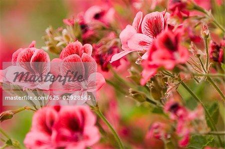 Close-up of flowers, Cinque Terre National Park, La Spezia, Liguria, Italy