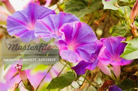 Close-up of flowers, Positano, Amalfi Coast, Salerno, Campania, Italy