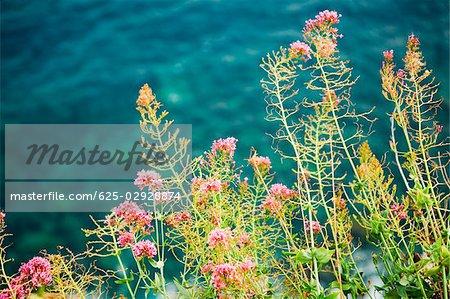 Close-up of flowers at seaside, Corniglia, Cinque Terre, Italian Riviera, La Spezia, Liguria, Italy
