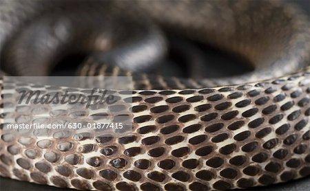 Close-up of a curled up cobra