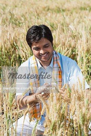 Farmer examining wheat crop in the field, Sohna, Haryana, India