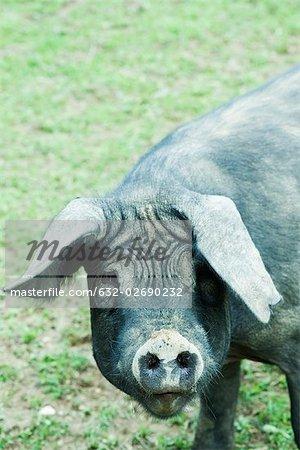 Black pig looking at camera
