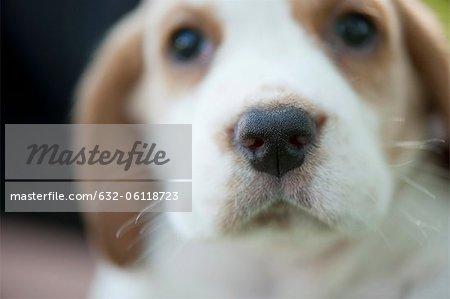 Beagle puppy, focus on nose
