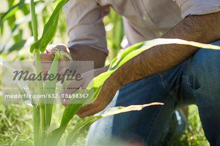 Man examining corn in field