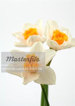 Daffodils, close-up