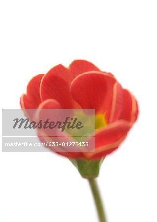 Red primrose flower, close-up