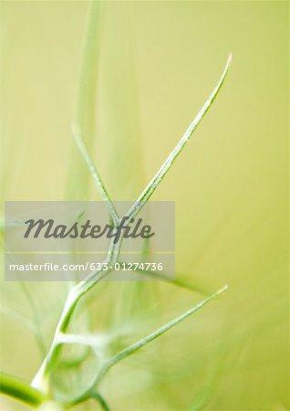 Nigella damascena leaves