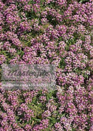 Flowering ground cover, full frame