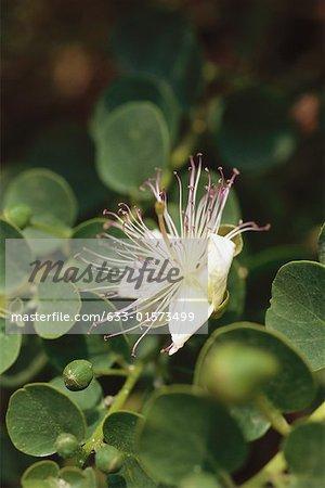 Caper blossom, close-up