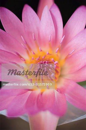 Lotus flower, extreme close-up