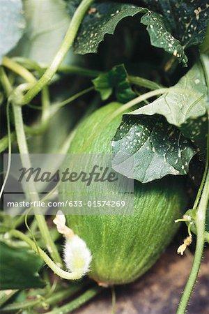 Honeydew melon growing