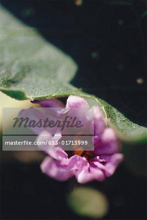 Eggplant flower bud, extreme close-up
