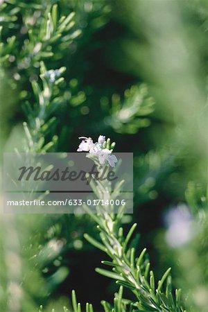 Rosemary plant, close-up