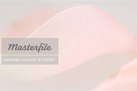 Pink petal, extreme close-up