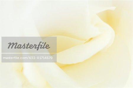 White rose, extreme close-up