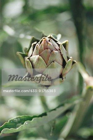 Artichoke growing in garden, close-up