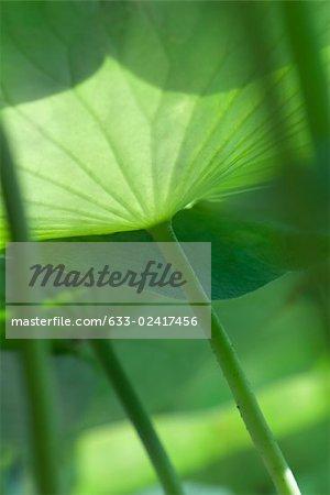 Sunlight shining through nasturtium leaves, low angle view