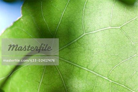 Sunlight shining through nasturtium leaf, low angle view