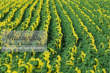 Sunflowers growing in field, full frame