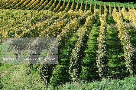 Vineyard, high angle view