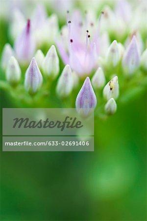 Sedum flower buds, extreme close-up