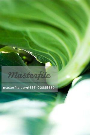Underside of cauliflower leaf, extreme close-up