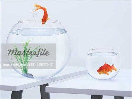 Goldfish in small fishbowl watching goldfish jump into large fishbowl