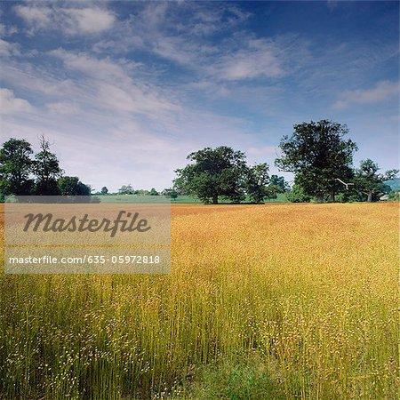 Wheatfield in rural landscape