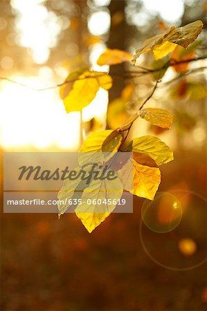 Sun shining on autumn leaves on branch