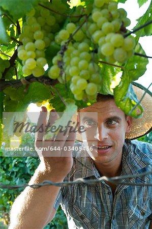 Young man looking at grapes in vineyard