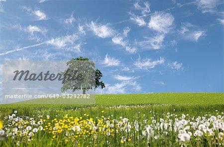 oak tree on hill in spring