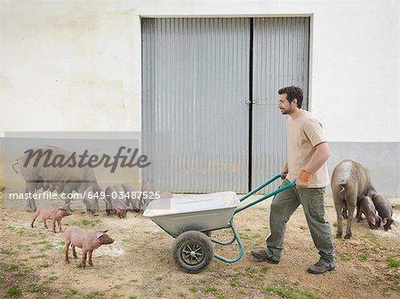 Man pushing a wheelbarrow with pigs