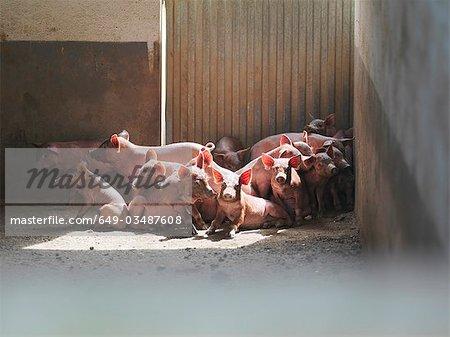 Piglets huddled together in pen