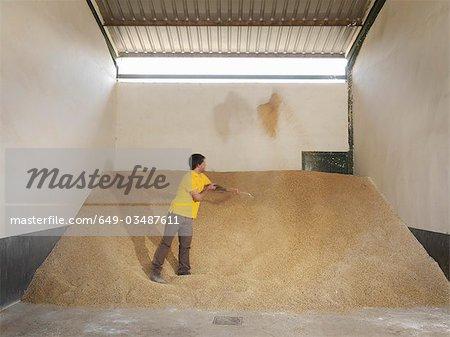 Man shoveling grain in barn
