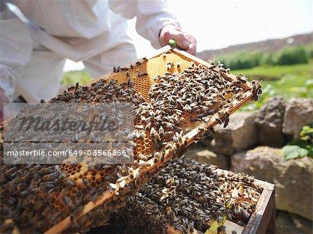 Beekeeper inspects bee hive