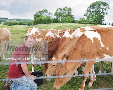 Farmer feeds Guernsey calves