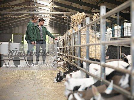 Workers feeding kid goats on farm