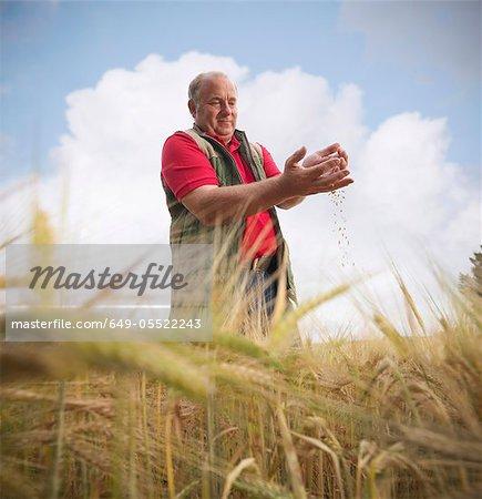 Farmer examining barley stalks in field