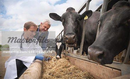 Veterinarian examining cow feed in barn