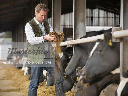 Farmer feeding cows in barn
