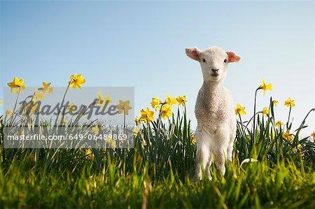 Lamb walking in field of flowers