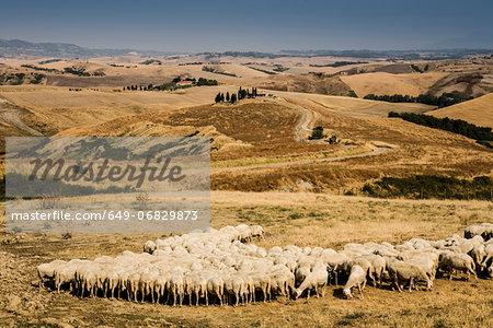Flock of sheep feeding in Tuscan field, Italy