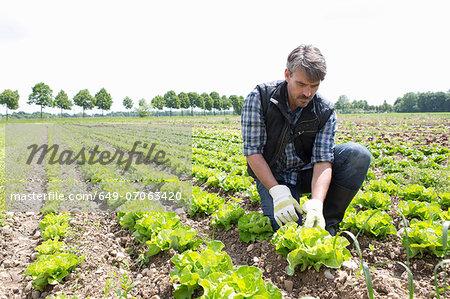 Organic farmer harvesting lettuce