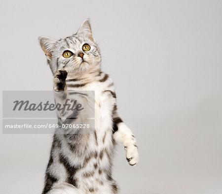 Silver tabby kitten lifting paw