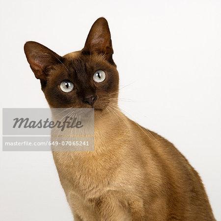 Portrait of Tonkinese Chocolate Head