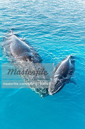 Adult humpback whale and calf, Hervey Bay, Queensland, Australia