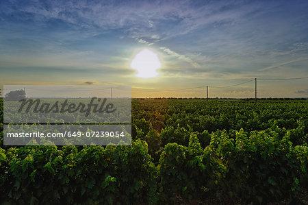 Vineyard, Veglie, Lecce, Puglia, Italy