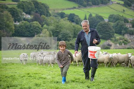 Mature farmer and grandson feeding sheep in field