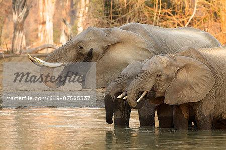 African elephant - Loxodonta africana - at waterhole